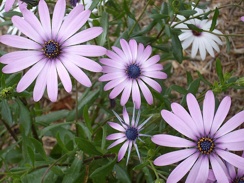 Spring Daisies 2008
