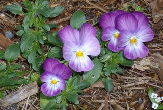 Violets Sept 2008